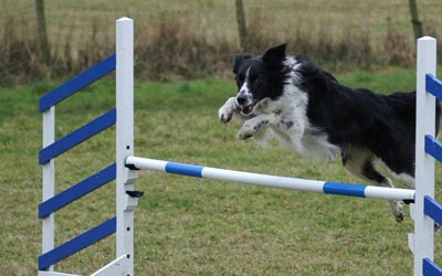 Collie Jumping