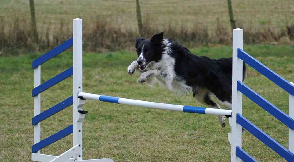 015Collie_jumping