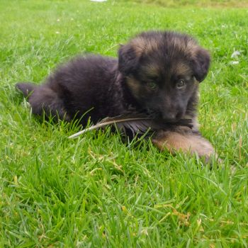GSD pup with feather