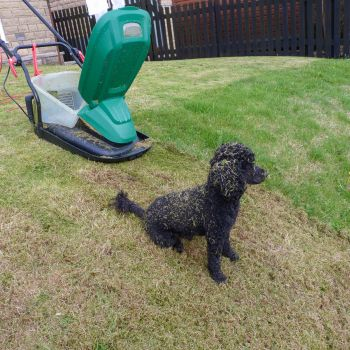 Grass covered Poodle